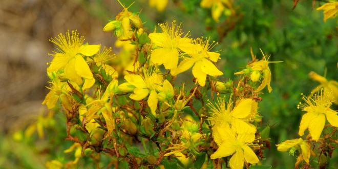 St. John's Wort for depression